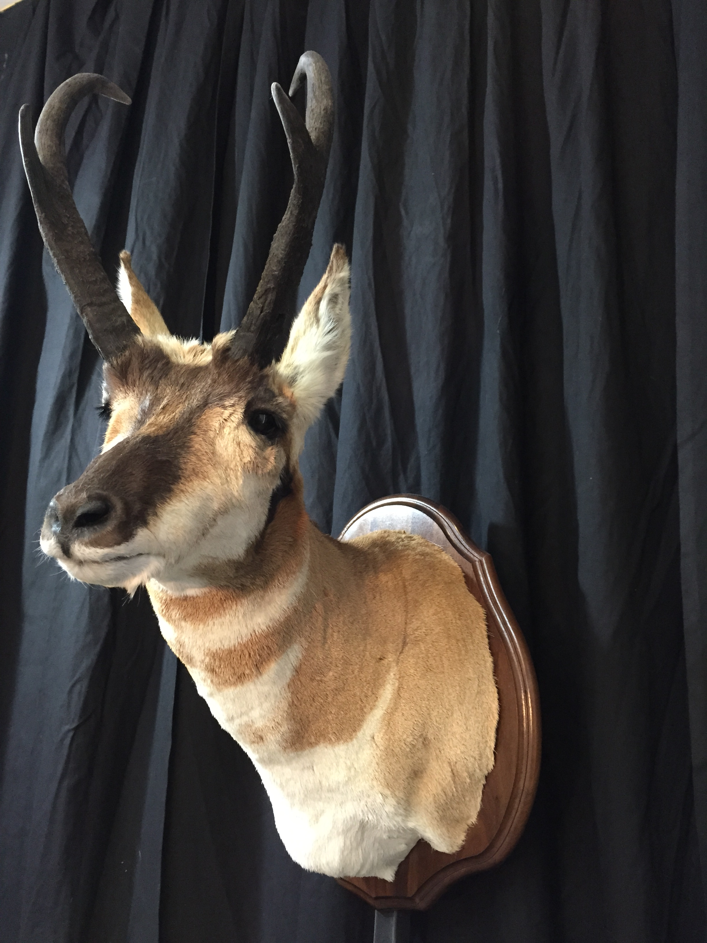 Pronghorn Antelope Taxidermy 16