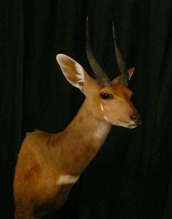 African Taxidermy 4