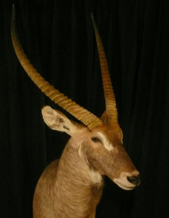 African Taxidermy 5
