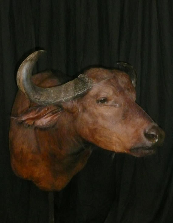 African Taxidermy 6
