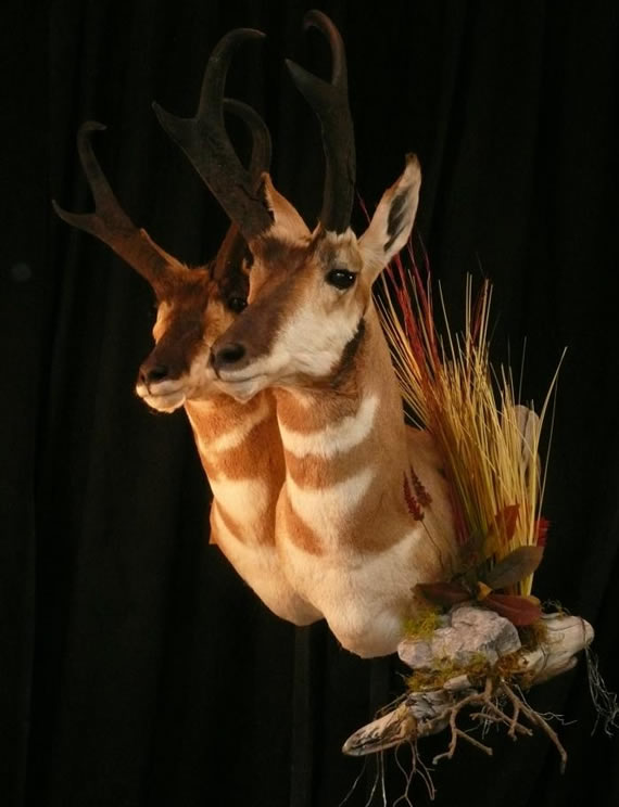 Pronghorn Antelope Taxidermy 10