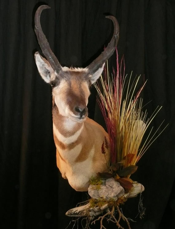 Pronghorn Antelope Taxidermy 11