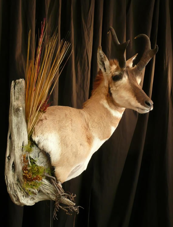 Pronghorn Antelope Taxidermy 12