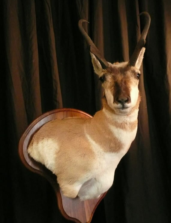 Pronghorn Antelope Taxidermy 13