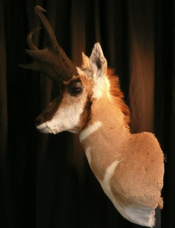 Pronghorn Antelope Taxidermy 14