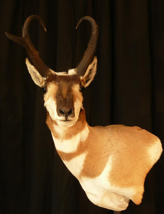 Pronghorn Antelope Taxidermy 5