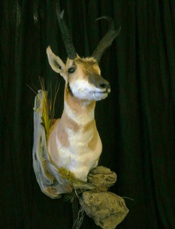 Pronghorn Antelope Taxidermy 6