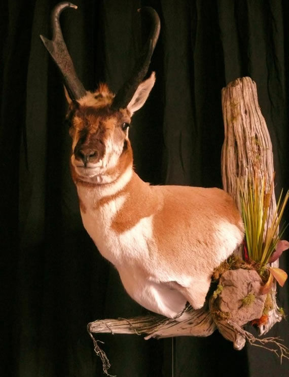Pronghorn Antelope Taxidermy 7