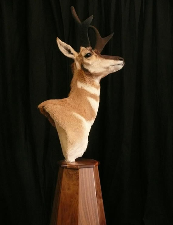 Pronghorn Antelope Taxidermy 8