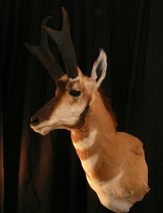 Pronghorn Antelope Taxidermy 9