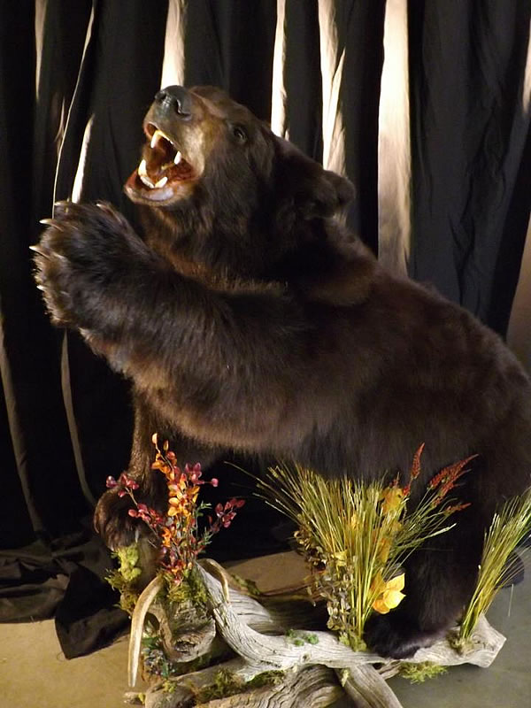 Bear Taxidermy 1