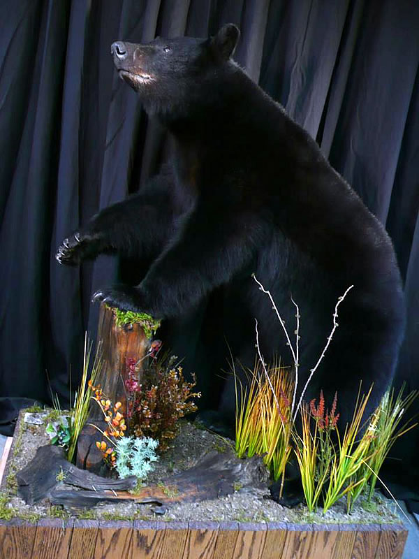 Bear Taxidermy 2