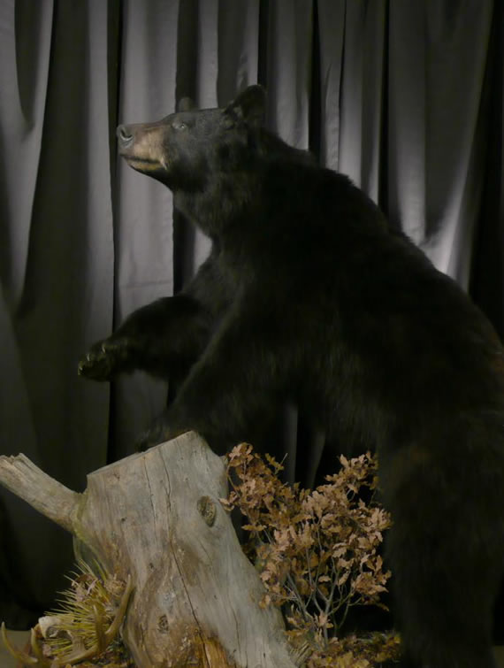 Bear Taxidermy 5