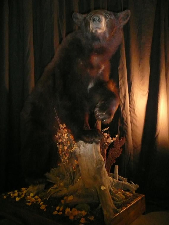 Bear Taxidermy 3