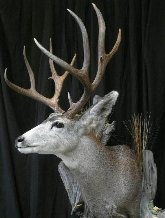 Deer Taxidermy 10