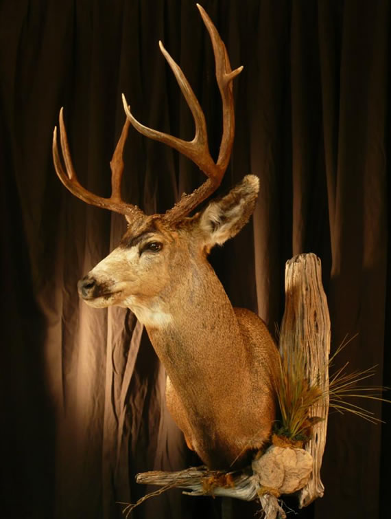 Deer Taxidermy 12