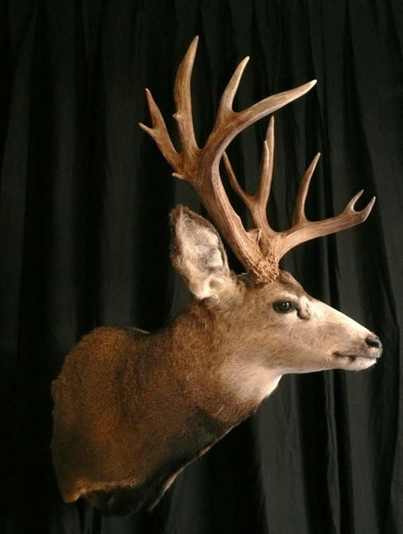 Deer Taxidermy 13