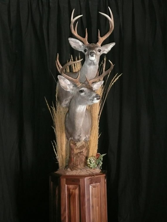Deer Taxidermy 15