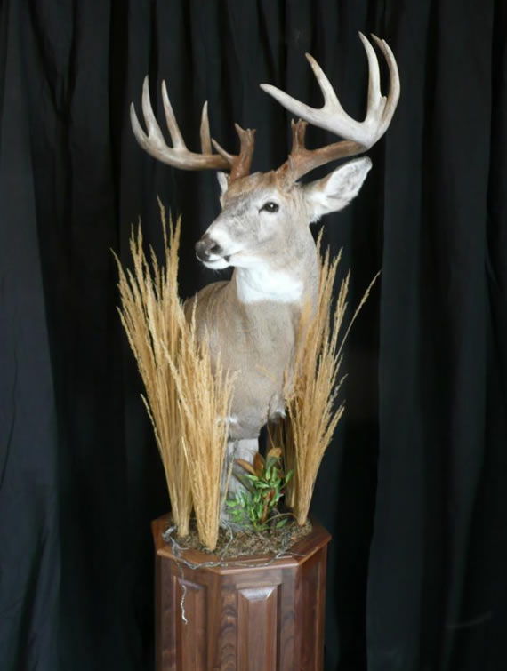 Deer Taxidermy 16