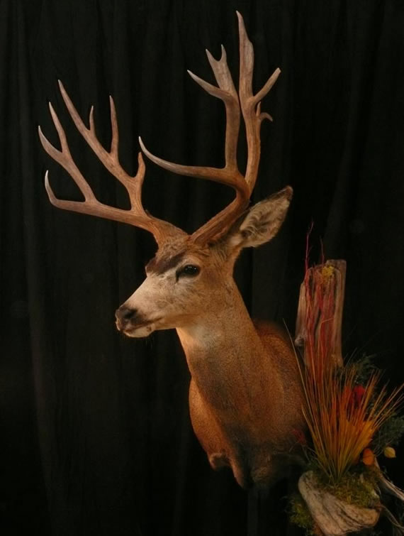 Deer Taxidermy 17