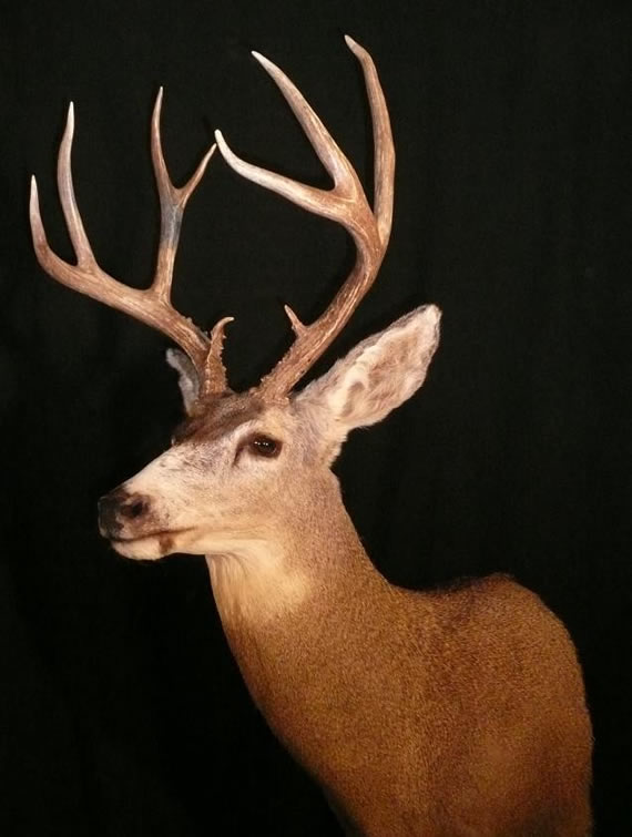 Deer Taxidermy 3