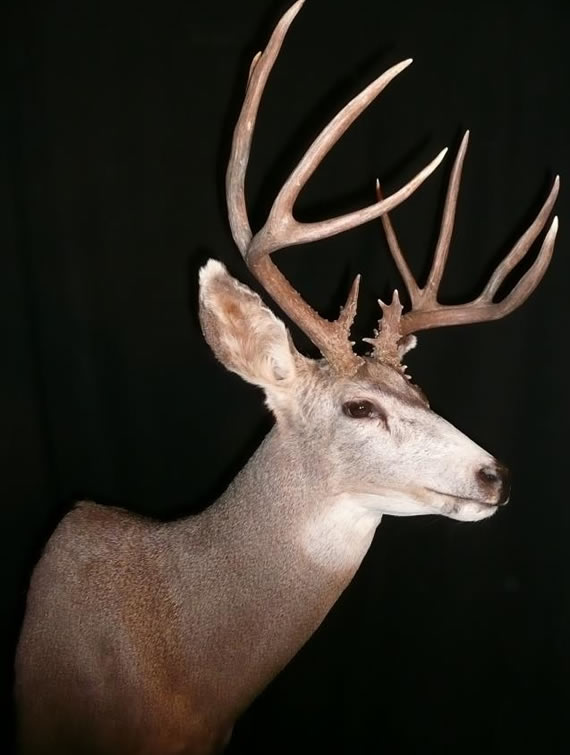 Deer Taxidermy 4