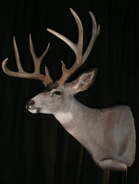 Deer Taxidermy 6