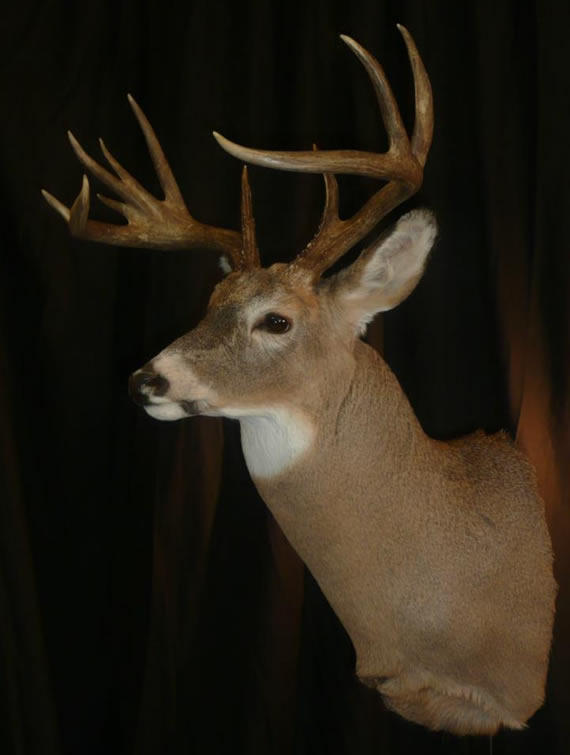 Deer Taxidermy 8