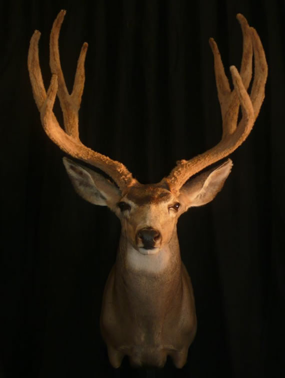 Deer Taxidermy 9