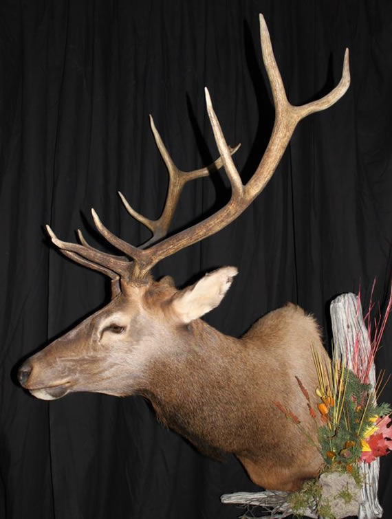 Elk Taxidermy 1