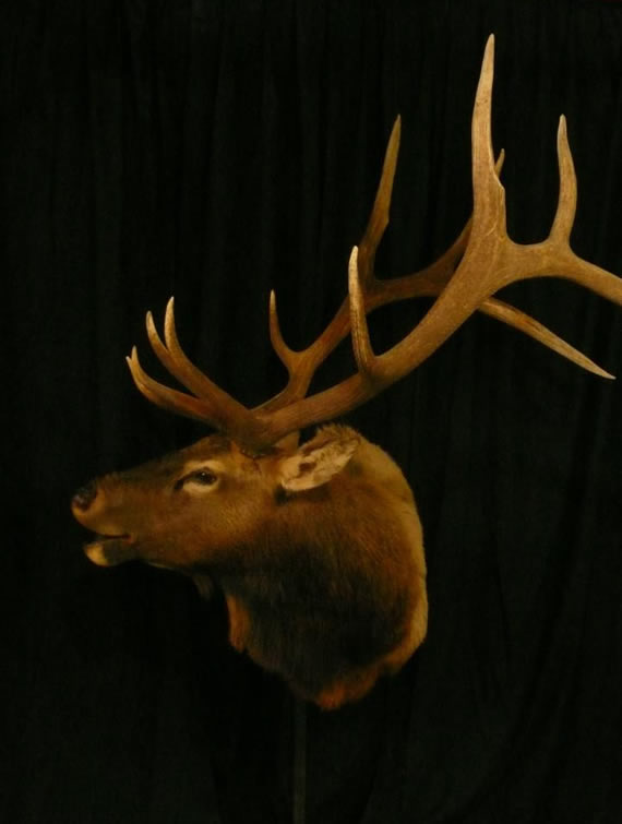 Elk Taxidermy 12