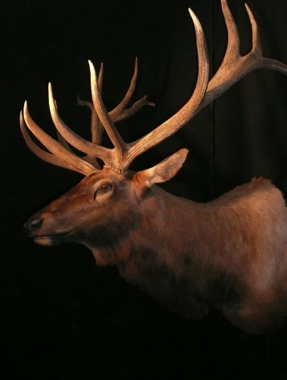 Elk Taxidermy 2