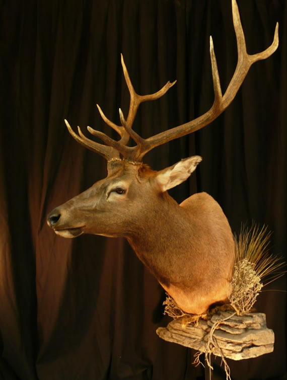Elk Taxidermy 7