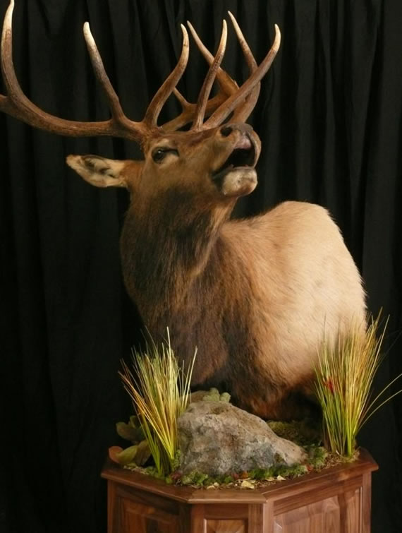 Elk Taxidermy 8
