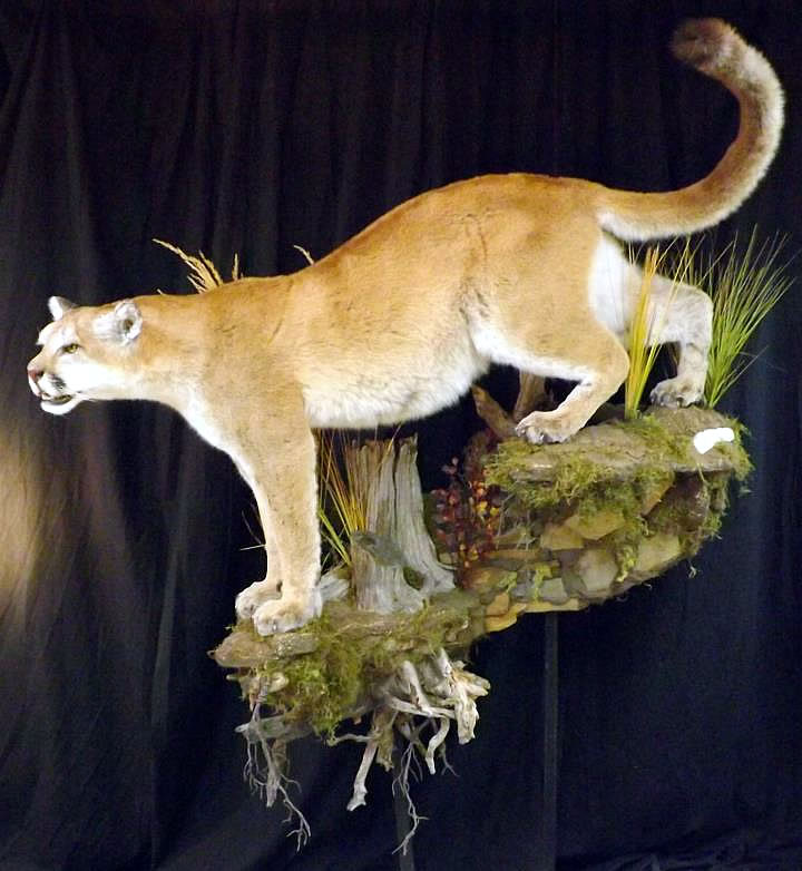 North American Taxidermy 1