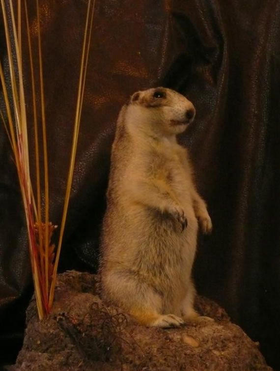 North American Taxidermy 16