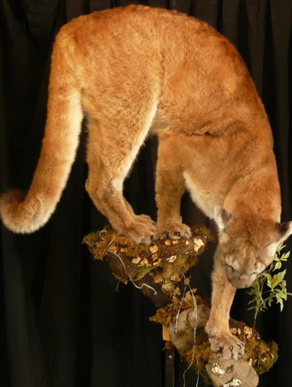 North American Taxidermy 4