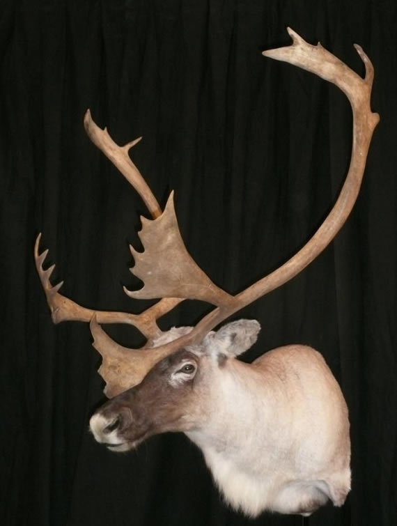 North American Taxidermy 6