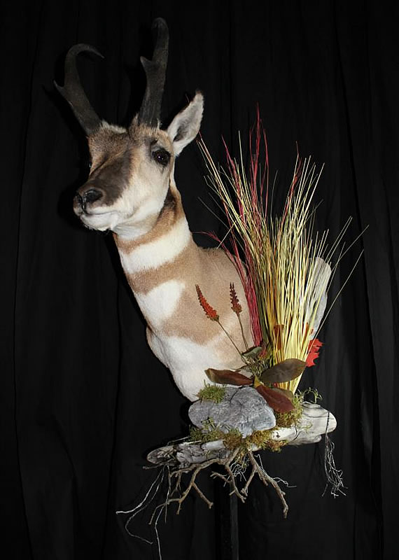 Pronghorn Antelope Taxidermy 15