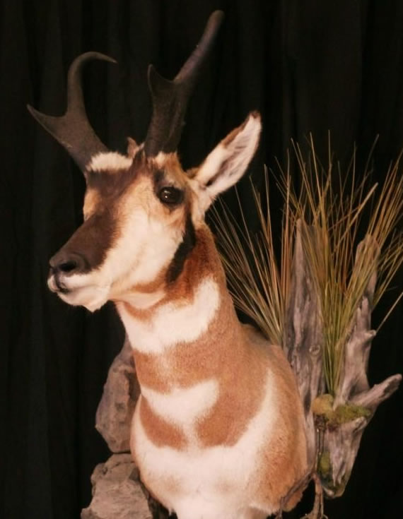 Pronghorn Antelope Taxidermy 3