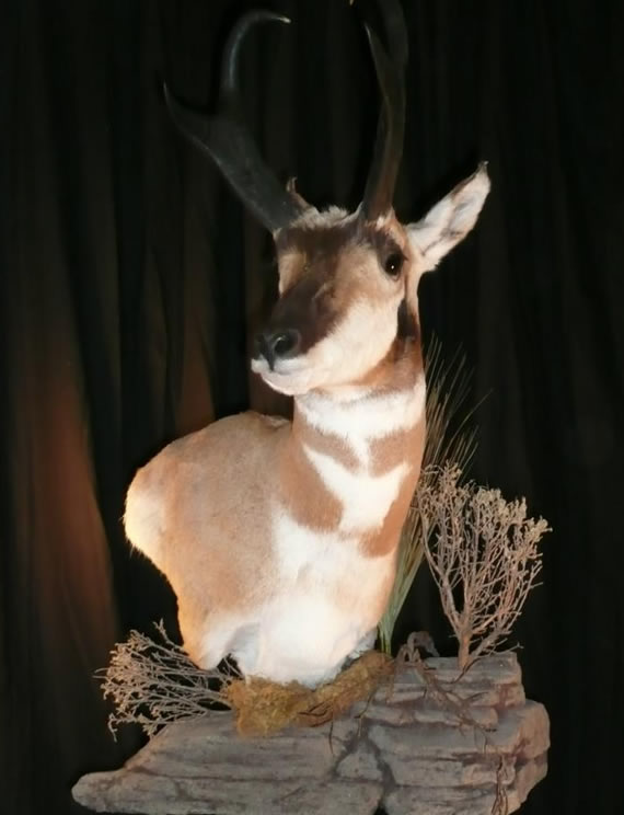 Pronghorn Antelope Taxidermy 4