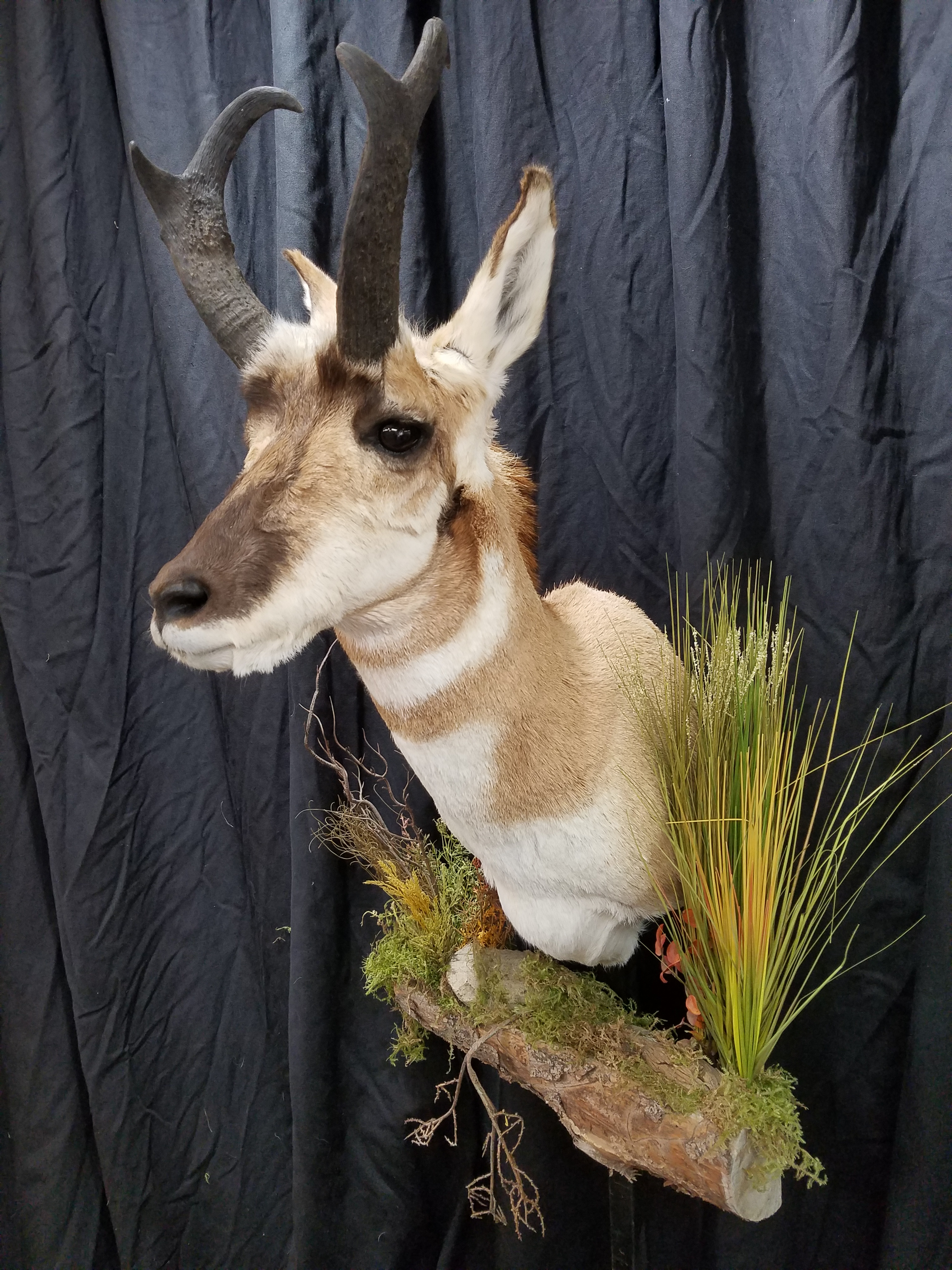 Pronghorn Antelope Taxidermy 1