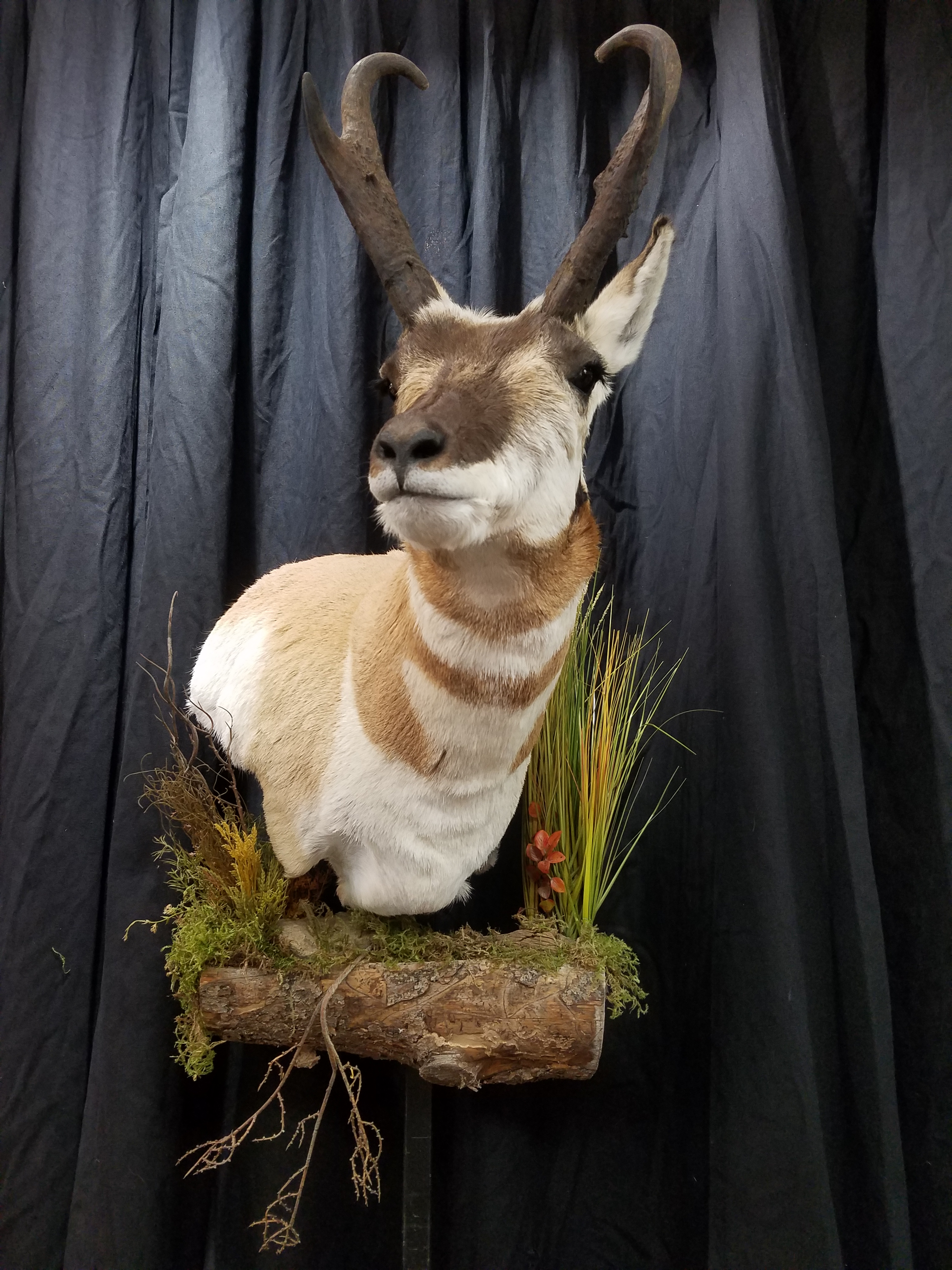 Pronghorn Antelope Taxidermy 2